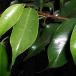 Ficus benjamina 3