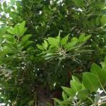 Фикус – уход в домашних условиях или как правильно выращивать растение?