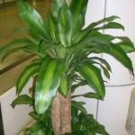 corn_plant_dracaena_fragrans