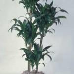 dracaena-lisa-cane-809